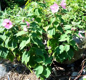 Street Ragz: Swamp Rose Mallow (Hibiscus palustris): Wild Plant Flower