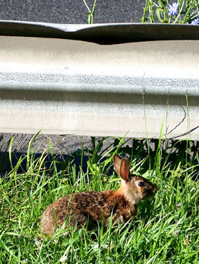 Street Ragz: NYC Wild Flowers: This is 'GR III' the rabbit chillin'.