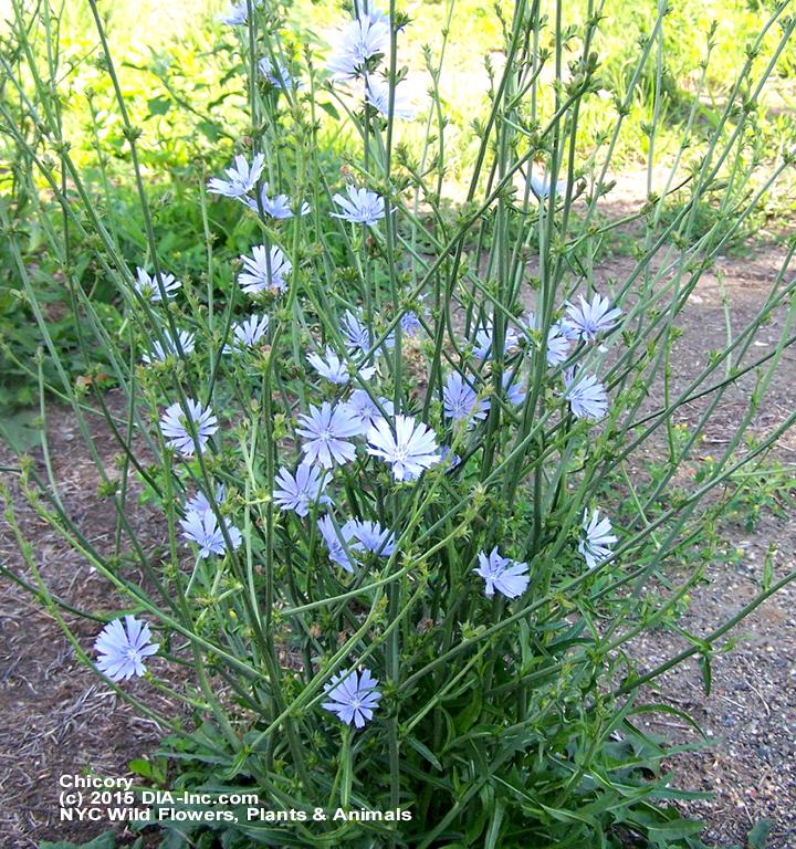 Street Ragz: Chicory: NYC Wild Flowers