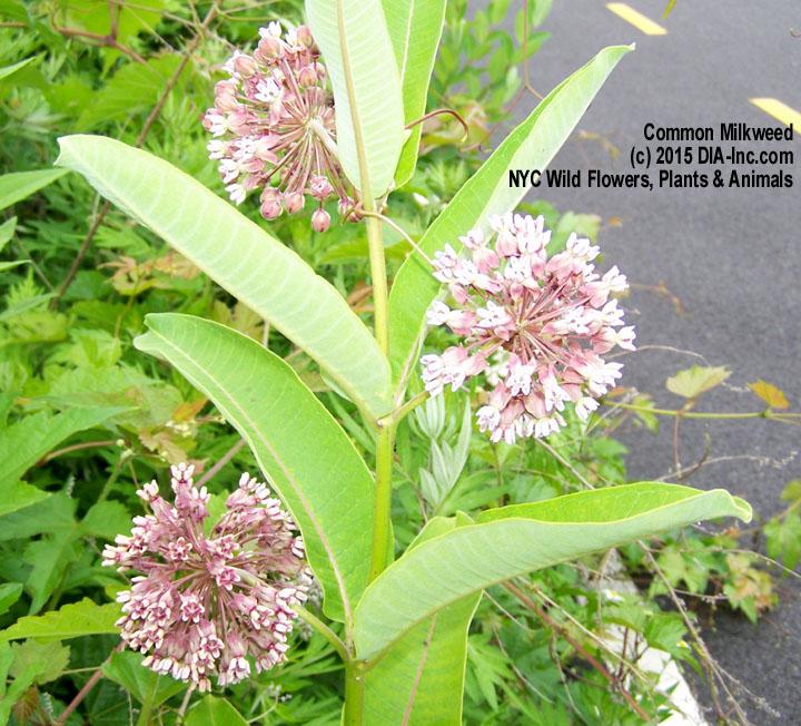 Street Ragz: Common Milkweed: Wild Plant Flower