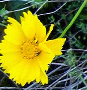 Street Ragz: Golden Yellow Coreopsis: NYC Wild Flowers.