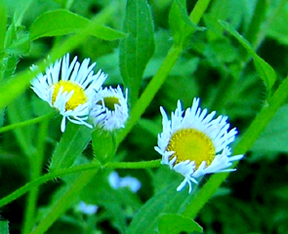 Fleabane wild daisy with ray-like white petals. : Wild Plant Flower
