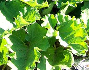 Street Ragz: Great Burdock: Wild Plant Flower