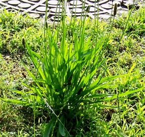 Street Ragz: Narrowleaf Plantain: Wild Plant Flower.