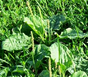 Street Ragz: Broadleaf Plaintain: Wild Plant Flower.