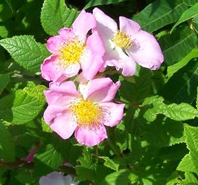 Street Ragz: Wild Pink Rose: Wild Plant Flower