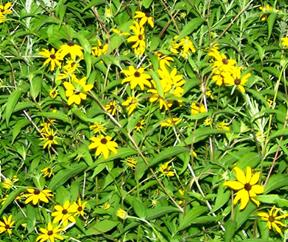 Street Ragz: Black-Eyed Susan: NYC Wild Flowers.