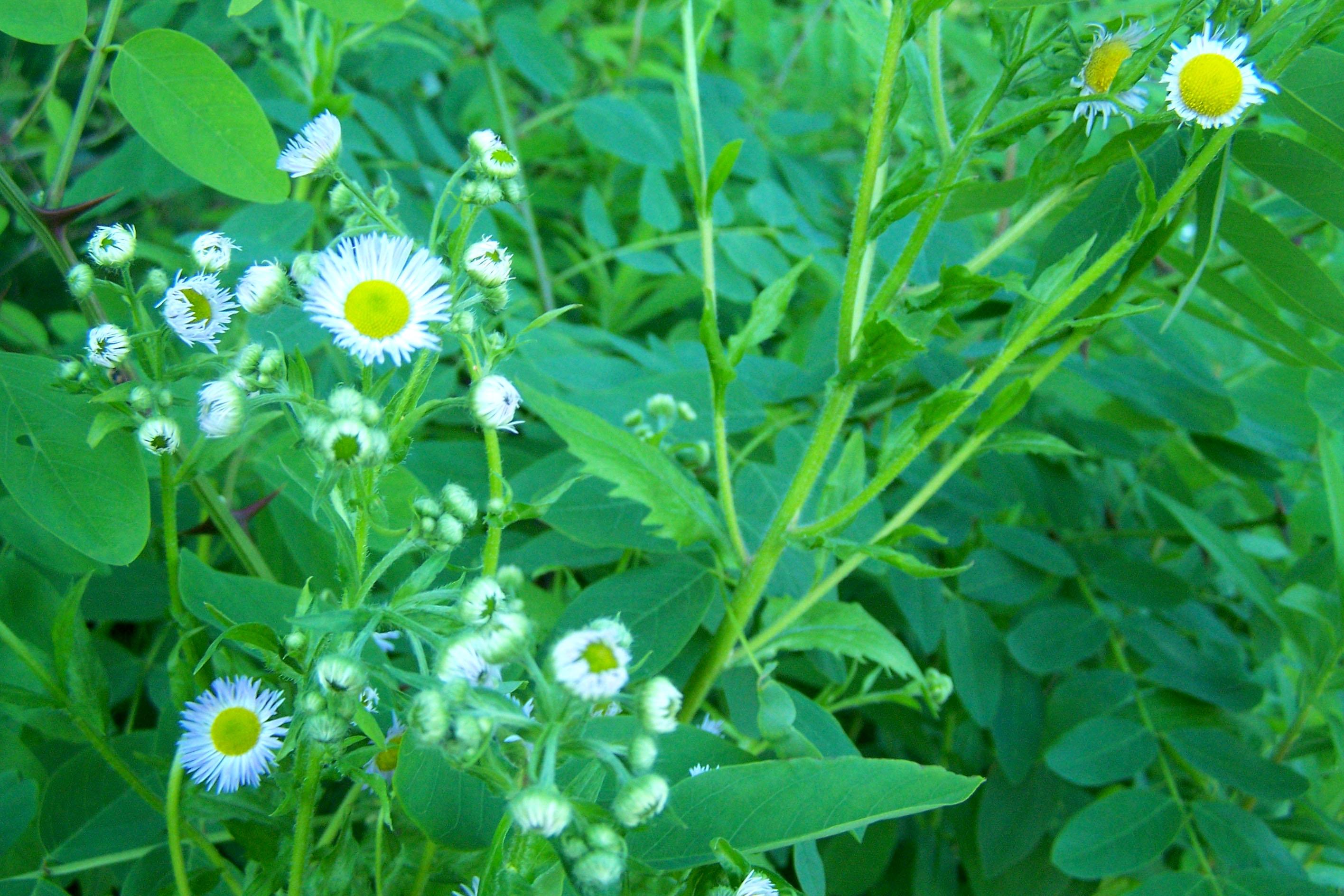 Street Ragz: Fleabane wild daisy: Wild Plant Flower