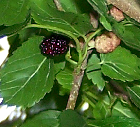 Mulberry Tree: NYC Wild Flowers.