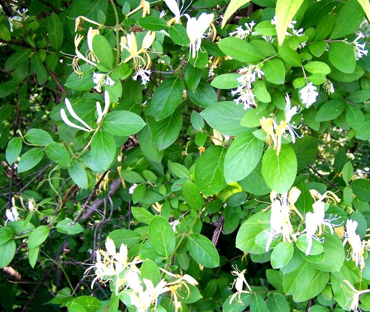 Street Ragz: Japanese Honeysuckle: Wild Plant Flower
