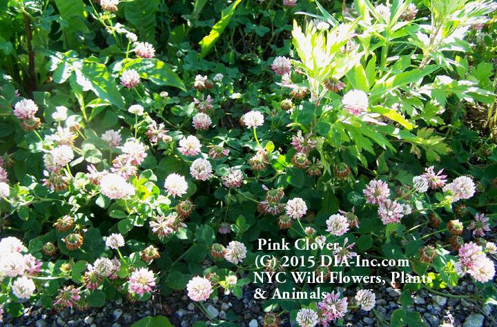 Street Ragz: Alsike Clover: Wild Plant Flower