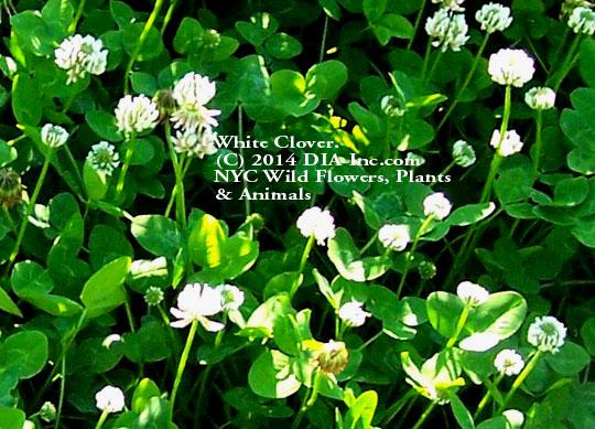 Street Ragz: White Clover: Wild Plant Flower