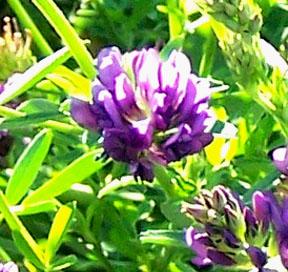 Street Ragz: Parry Clover: Wild Plant Flower